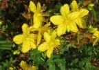 Johanniskraut - stimmungsaufhellende Wirkstoffe aus der Natur
