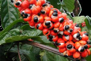 Guaranapfrucht